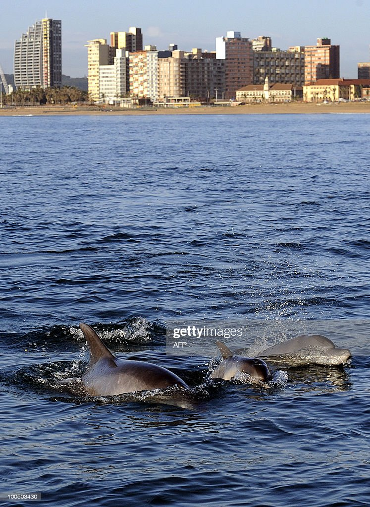 A picture taken on April 21, 2010 shows dolphins swimming in the water outside Durban's Golden Mile beach side close to Moses Mabhida World Cup 2010 Stadium in Durban. The KZNSB services a combination of shark nets and recently-deployed drumlines, spread at intervals along 320 km of coastline in KwaZulu-Natal, thereby providing protection against shark attack at 38 localities. Each net is pulled to the surface, where it is examined for captured animals and damage, a procedure known as 'meshing'. Dead animals in good condition are removed for examination by the research staff, decomposed animals are discarded at sea and live animals, including potentially dangerous sharks, are released, with many being tagged first.