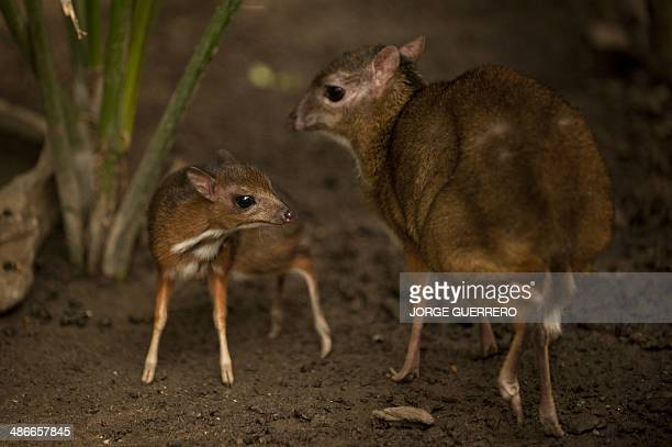 A picture taken on April 25 2014 shows a Java mousedeer cub one of the world's smallest hoofed animals and its mother at the Fuengirola Biopark near...