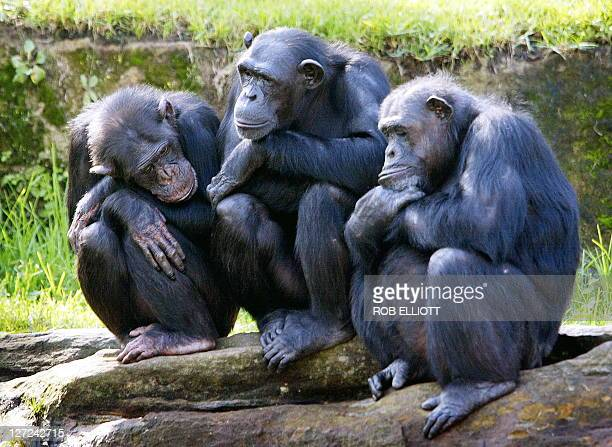FILES A picture taken on April 26 2005 shows three female chimpanzees noddingoff as they sit on rocks in a family group with the sun on their backs...