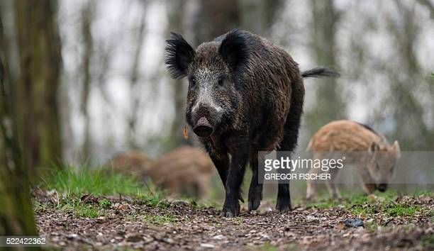 Picture taken on April 5 2016 shows a wild boar with one of its young boars walking through a forest in Berlin's Tegel district / AFP / dpa / Gregor...