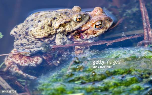 A picture taken on April 9 2018 shows a pair of mating common toads in a pond in Klein Salitz northern Germany / AFP PHOTO / dpa / Jens Büttner /...