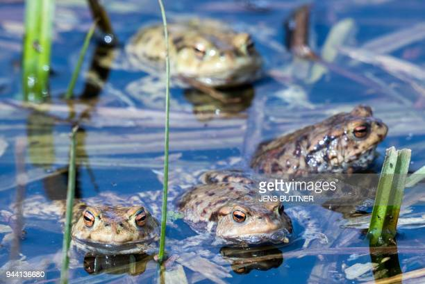 A picture taken on April 9 2018 shows common toads in a pond in Klein Salitz northern Germany / AFP PHOTO / dpa / Jens Büttner / Germany OUT