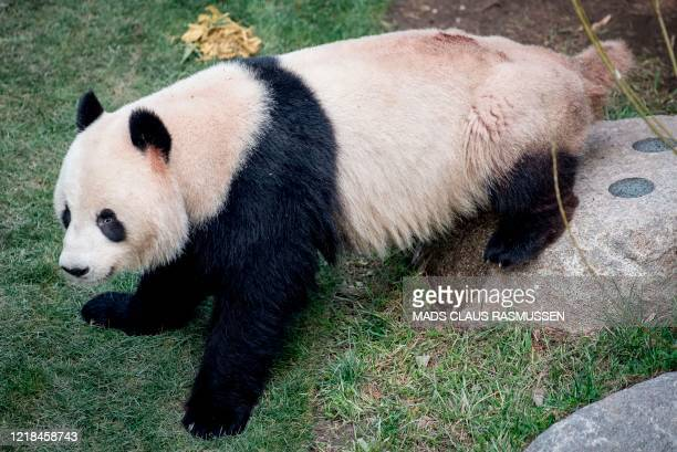 Picture taken on April 9, 2019 shows Panda Xing Er sitting in its enclosure in the Copenhagen zoo. - Driven by a sudden desire to escape, a panda...