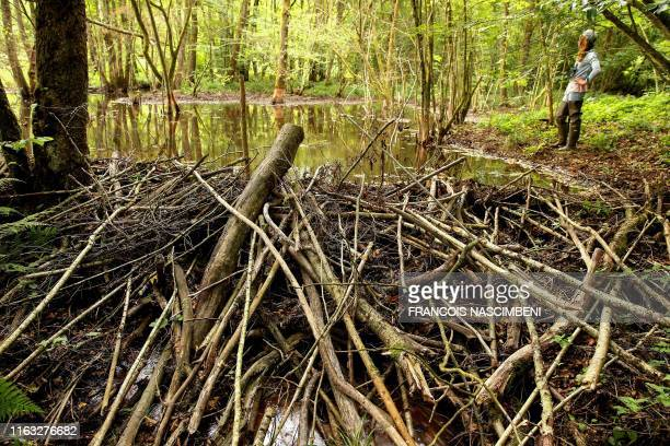 A picture taken on August 1 2019 shows a beaver dam on the Houille an affluent of the Meuse river near Hargnies The European beaver has indeed...