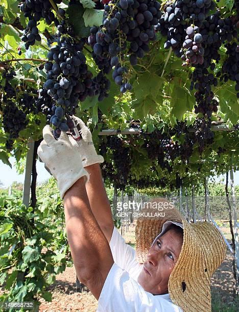 Picture taken on August 1 shows an Albanian woman picks grapes at a vineyard near the village of Zejmen. AFP PHOTO / GENT SHKULLAKU