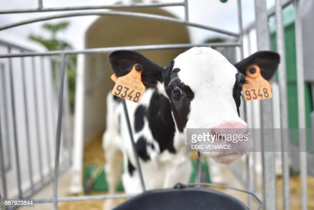 A picture taken on August 10 2016 in Sulniac western France shows a veal in a milk producer and cattle breeder farm / AFP PHOTO / LOIC VENANCE