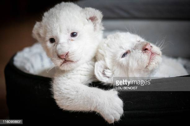 TOPSHOT A picture taken on August 11 shows two white lion cubs laying in their basket at the association Caresse de tigre at La MaillerayesurSeine...
