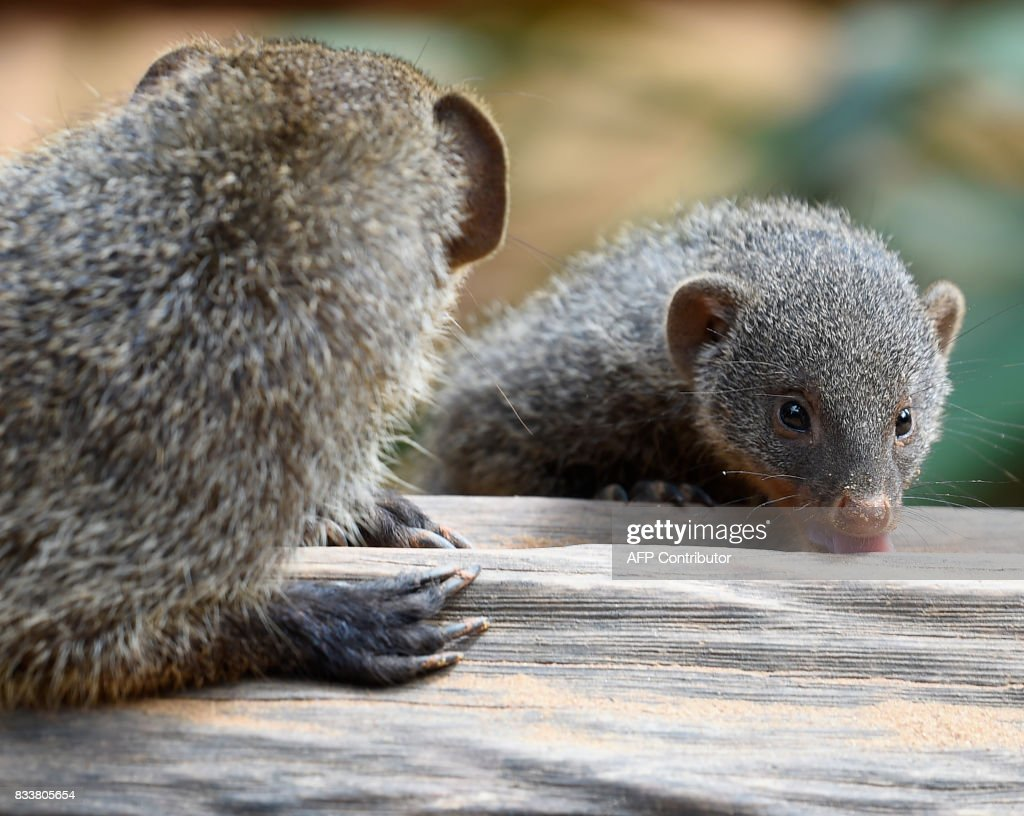 A picture taken on August 17, 2017 shows a banded mongoose cub at the zoological park of the eastern French city of Amneville, eastern France. /
