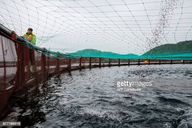 A picture taken on August 2 2017 shows Russian fish farming company Russian Aquaculture's salmon and trout farm operating in Ura Bay in the Barents...