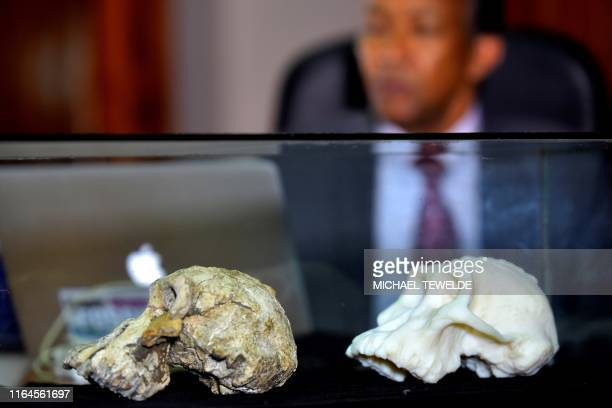 Picture taken on August 28, 2019 shows a 3.8 million-year-old skull of an early human , known as 'MRD' and belonging to the species Australopithecus...