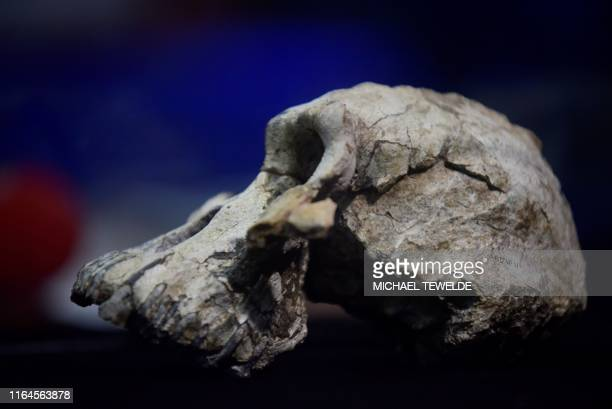 Picture taken on August 28, 2019 shows a 3.8 million-year-old skull of an early human, known as 'MRD' and belonging to the species Australopithecus...