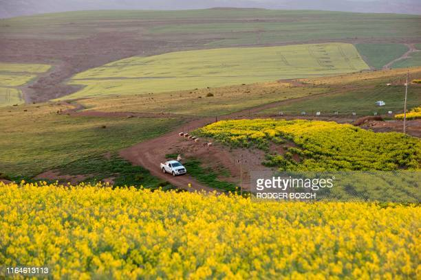 Picture taken on August 28 in the Western Cape Province near Botriver shows a bee-keepers setting out bee hives for pollination. - Canola or Rapeseed...