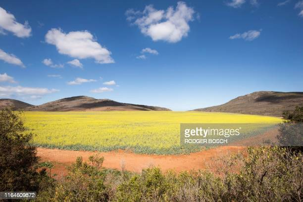 Picture taken on August 28 in the Western Cape Province near Riversdale shows Canola fields. - Canola or Rapeseed are grown for the oil which is...