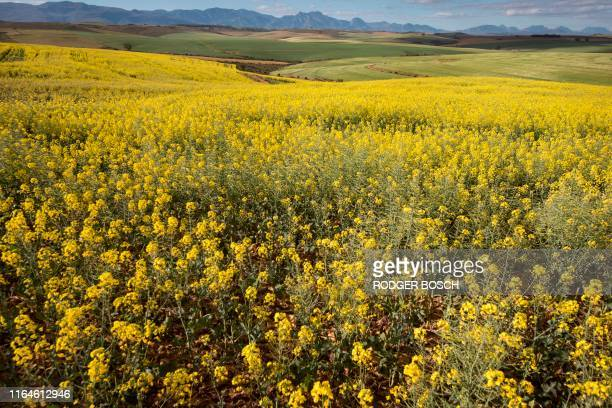 Picture taken on August 28 in the Western Cape Province near Swellendam shows canola fields. - Canola or Rapeseed are grown for the oil which is...