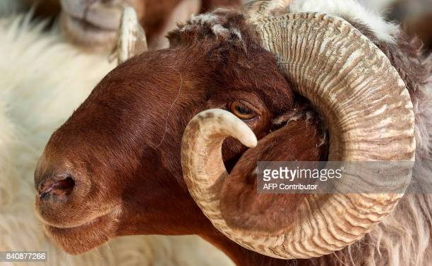 A picture taken on August 30 2017 shows a ram in a stall at a livestock market in Kuwait City waiting to be sold ahead of the Muslim holiday of Eid...