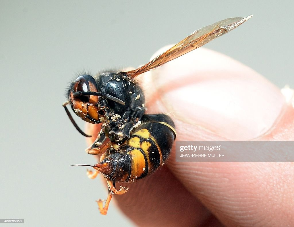 LASSERRE - A picture taken on August 5, 2014 in Saint-Paul-les-Dax, southwestern France, shows a person holding an Asian predatory wasp, also known as Asian Hornet, with its sting out.