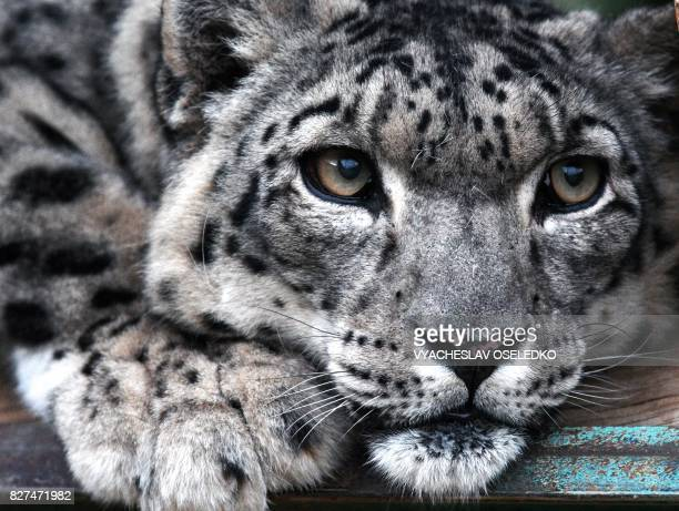 A picture taken on August 7 2017 shows a Snow Leopard at the NABU center a German organization that aims at reintroducing the panther and fighting...