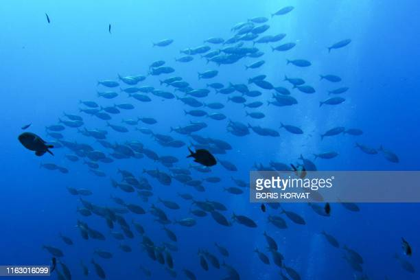 A picture taken on August18 2019 shows damselfishes and Mediterranean bream fishes or Sarpa salpa in the Roustaud reef near La Ciotat southern France