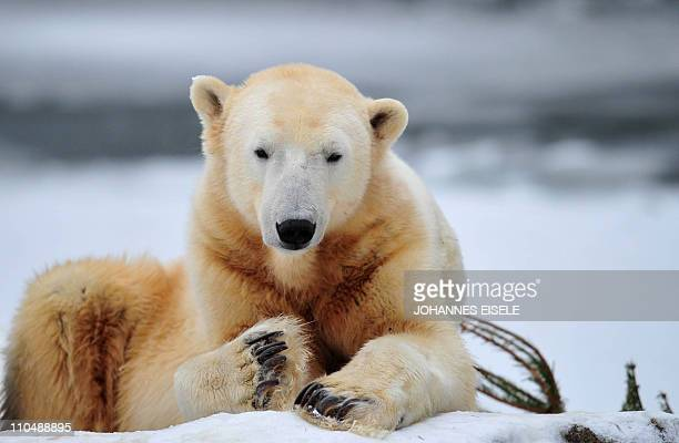 FILES Picture taken on December 10 2010 shows the world's most famous polar bear Knut sitting in his enclosure at the zoo in Berlin Germany was in...