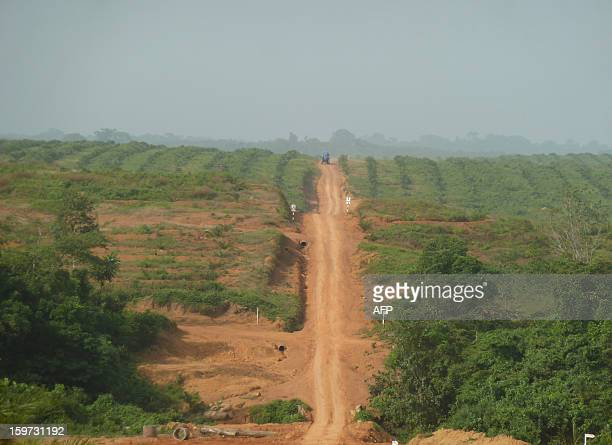 Picture taken on December 10 2012 of a part of the Sime Darby concession northwestern Liberia showing a field of palm trees Since the end of 2010...