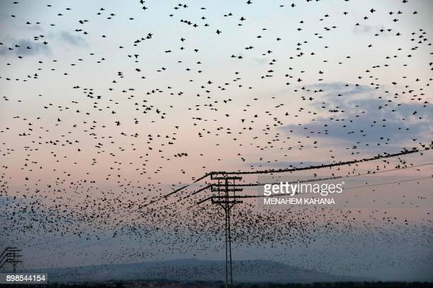 A picture taken on December 25 2017 shows a murmuration of starlings in the sky over agricultural fields near the Israeli city of Beit Shean in the...