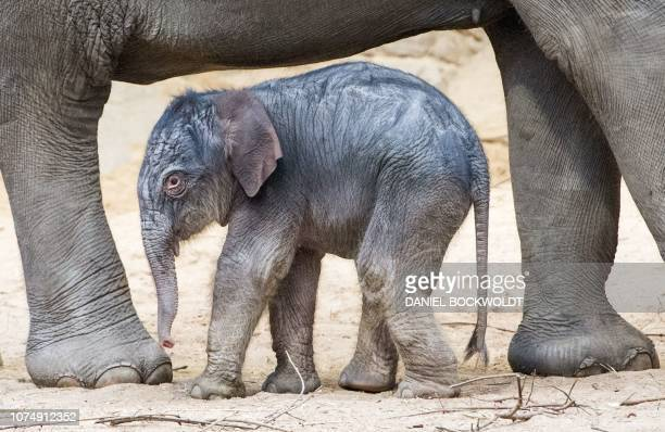 TOPSHOT A picture taken on December 26 2018 shows a baby elephant at an enclosure at Hagenbecks Tierpark zoo in Hamburg northern Germany / Germany OUT
