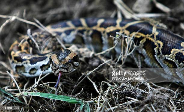 Picture taken on December 28 2010 shows a Python looks on Chitwan National Park some 200kms southwest of KathmanduThe park covers 932 square metres...