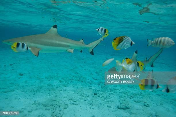 Picture taken on December 3 shows blacktip reef sharks in the lagoon of the island of Bora Bora. Overexploitation threatens the survival of the...