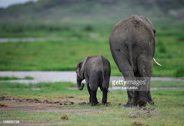 Picture taken on December 30, 2012 shows elephants at the Amboseli game reserve, approximately 250 kilometres south of Nairobi. Drawing to its close...