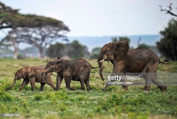 Picture taken on December 30 2012 shows elephants calves playing at the Amboseli game reserve approximately 250 kilometres south of Nairobi Drawing...