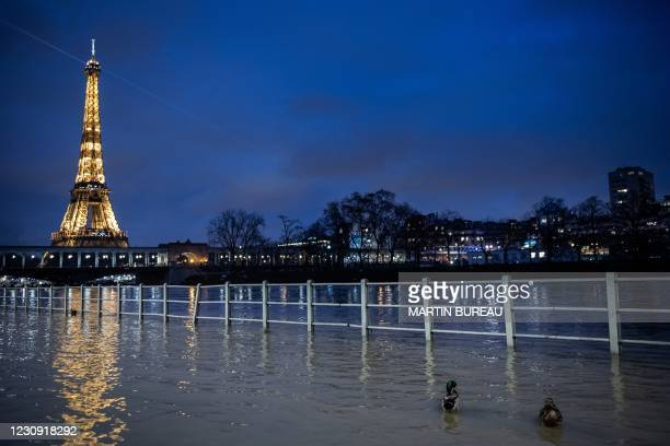 Picture taken on February 1, 2021 in Paris shows ducks as the river Seine overflows with the Eiffel tower in background.