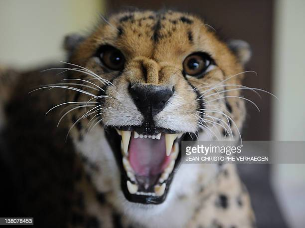 A picture taken on February 2 shows a cheetah at the Amneville zoo eastern France AFP PHOTO JEANCHRISTOPHE VERHAEGEN