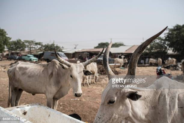 A picture taken on February 23 2017 a cattle feeding from a trough at a livestock yard in Kaduna northwest Nigeria Longstanding tensions between...
