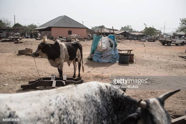 A picture taken on February 23 2017 shows cattle sold at a livestock yard in Kaduna northwest Nigeria Longstanding tensions between herdsmen and...