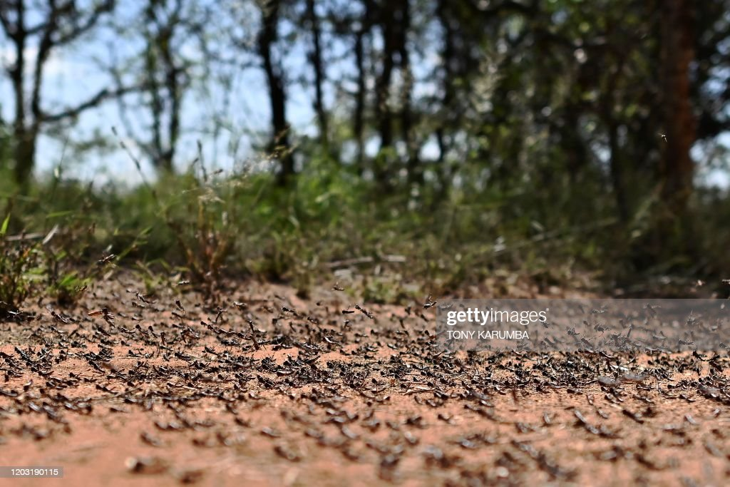 KENYA-LOCUST-ENVIRONMENT-FOOD : News Photo