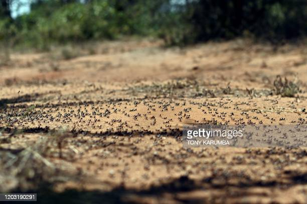 A picture taken on February 25 2020 near Isiolo town in Isiolo county eastern Kenya shows locust nymphs aggregated on the ground at a hatch site...