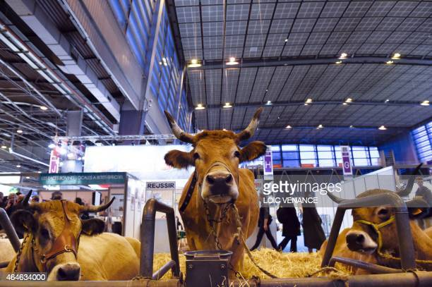 A picture taken on February 26 2015 shows a cow of the French Mirandaise during the Paris international agricultural fair at the Porte de Versailles...