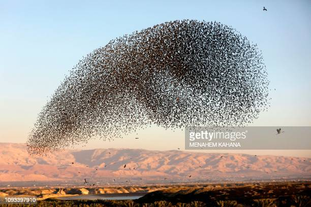 Picture taken on February 3 shows a murmuration of starlings during their traditional dance before landing to sleep on the Jordan Valley in the West...
