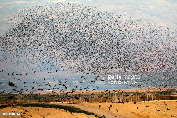Picture taken on February 3 shows black kite birds flying past a murmuration of starlings, during their traditional dance before landing to sleep on...