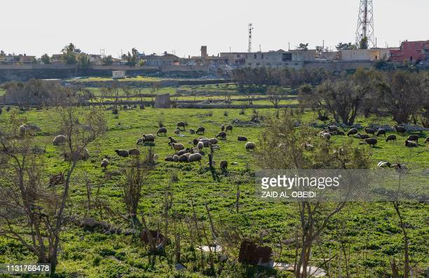 Picture taken on February 4, 2019 shows a flock of sheep grazing in a field in the northern Iraqi town of Sinjar. - For decades in the mountainous...