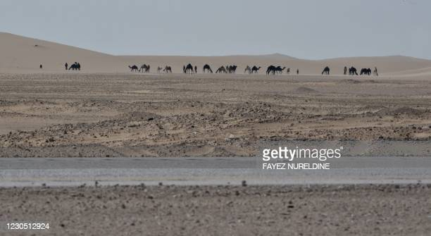 Picture taken on January 10, 2021 shows camels at the Hofuf desert, 380 kms east of the Saudi capital Riyadh, near the border with Qatar. - Qatar and...
