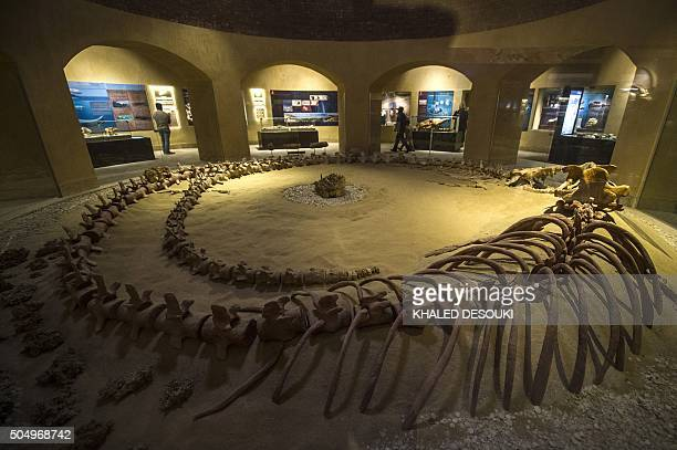 A picture taken on January 14 2016 shows a whale skeleton at the Wadi elHaitan Fossil and Climate Change Museum in Fayoum 60 km south of the Egyptian...
