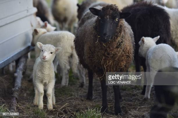 A picture taken on January 19 2018 shows lambs and sheeps in the 'Zad' of NotreDamedesLandes two days after the French government's official decision...