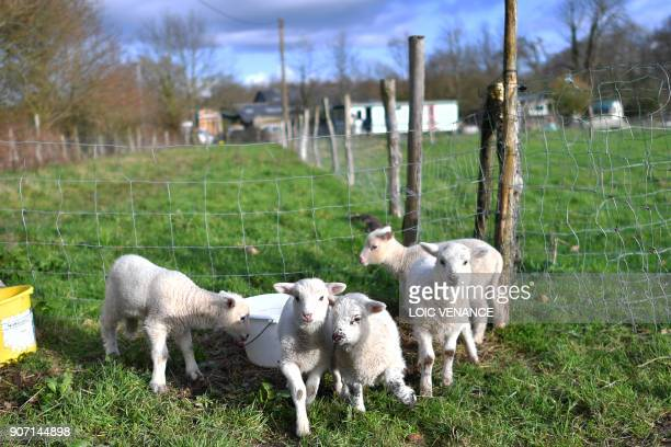 A picture taken on January 19 2018 shows lambs in the 'Zad' of NotreDamedesLandes two days after the French government's official decision to abandon...