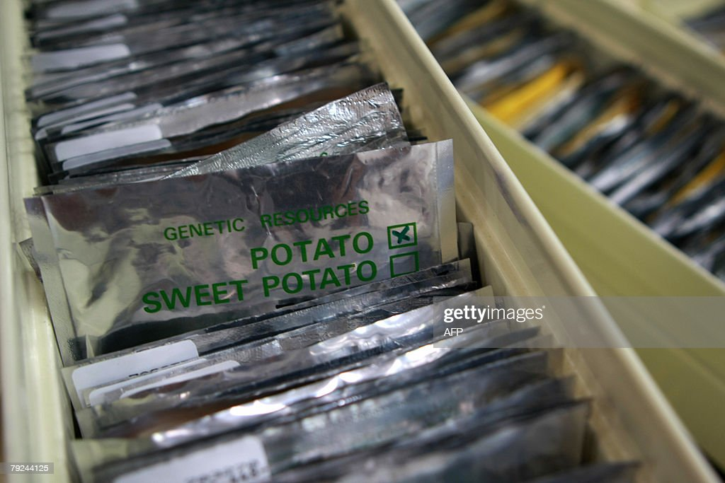 Picture taken on January 25th, 2008, of packs of seeds of potatoes and sweet potatoes cultivated at the Potato International Centre (CIP) in Lima, Peru. Seeds of these tubercules will be sent to the Svalbard Global Seed Vault (SISV) in Norway at the end of this month. The SISV, the world's largest seed bank built in Norway?s permafrost, was designed with the intention of guaranteeing the survival of crop seeds from natural disasters, wars or even global warming. AFP PHOTO/Ernesto BENAVIDES