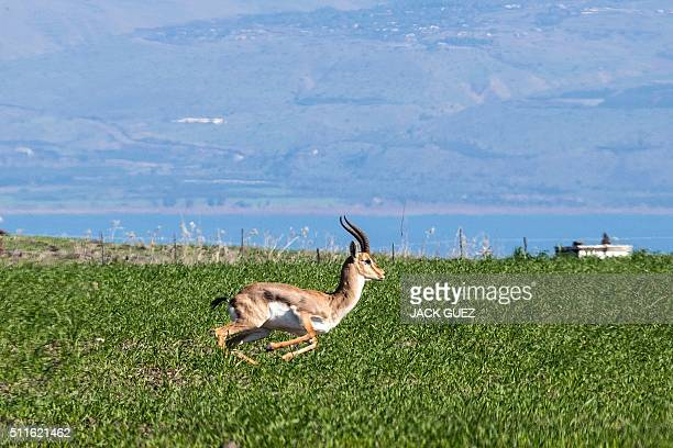 A picture taken on January 28 2016 shows an antelope running in the area near Kefar Hittim in the Galilee were the Israeli government plans to build...