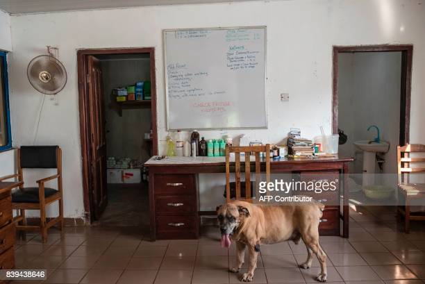 A picture taken on July 11 2017 shows a dog in the office of the Rosedale Dairy Farm Farming in Nigeria is not for the fainthearted Intermittent...