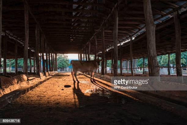 A picture taken on July 11 2017 shows a Jersey cow in the afternoon light at the Rosedale Dairy Farm Farming in Nigeria is not for the fainthearted...