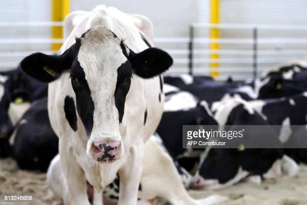 A picture taken on July 12 2017 shows a herd of cows airlifted from Budapest at the Baladna livestock production farm in the city of alKhor northeast...