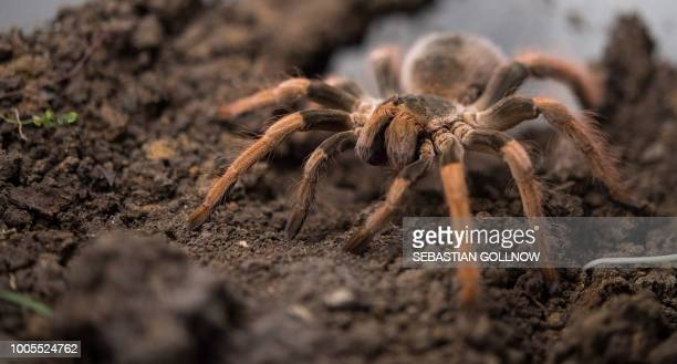 A picture taken on July 12 2018 shows a tarantula in a terrarium in Pfedelbach Germany / Germany OUT